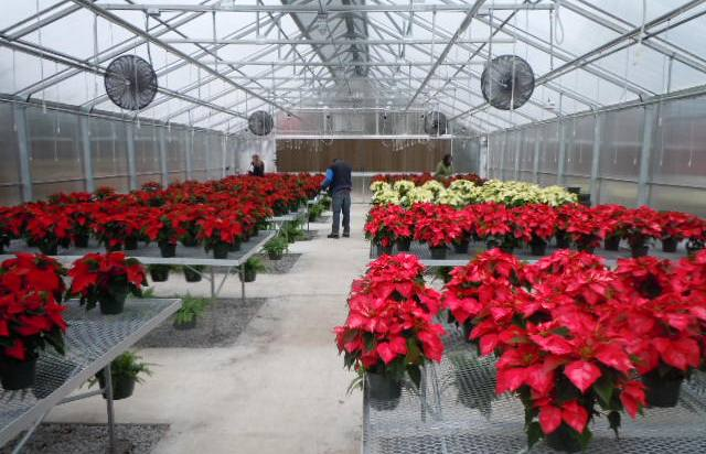 Portal Poinsettias in Greenhouse